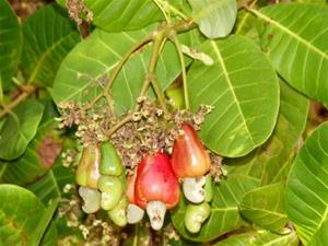 "Anacardium Occidentale ""Cashew Nut"""